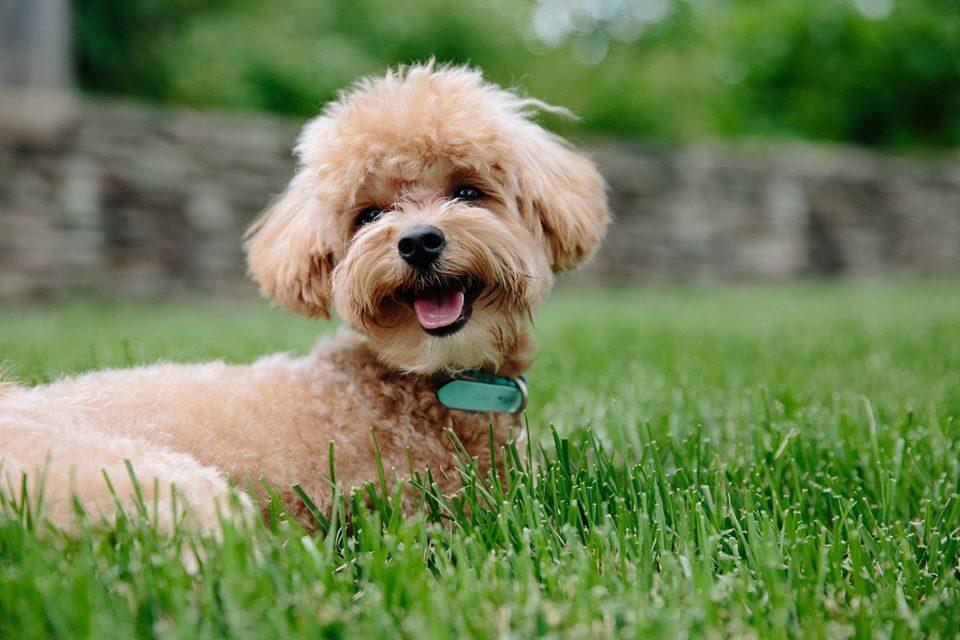 На фото маленькая кучерявая собачка в зеленой траве